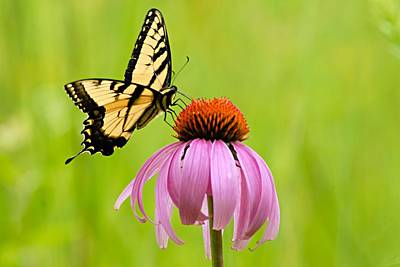 Photograph - Yellow Swallowtail On Cone Flower by Larry Ricker