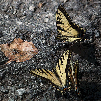Photograph - Yellow Swallowtails IIi Squared by Suzanne Gaff