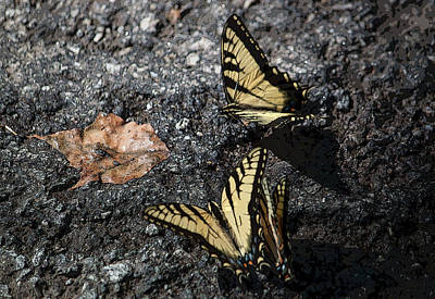 Photograph - Yellow Swallowtails IIi by Suzanne Gaff