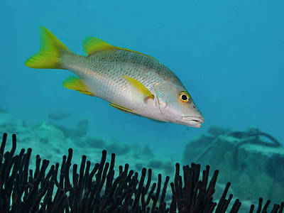 Photograph - Yellow Tail Snapper by Jean Noren