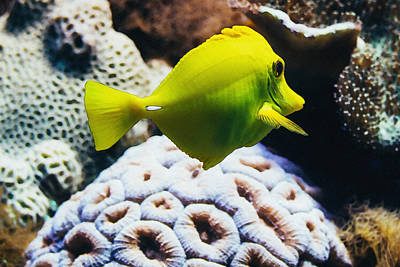 Reef Shark Mixed Media - Yellow Tang Fish by Pati Photography