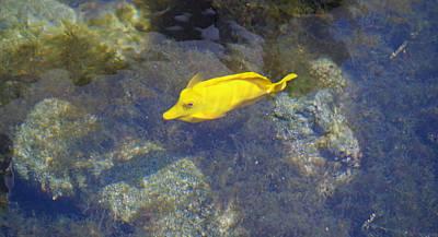 Photograph - Yellow Tang by Pamela Walton