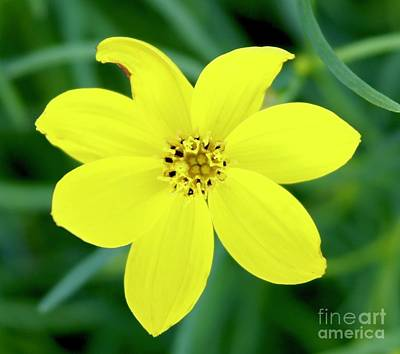 Wall Art - Photograph - Yellow Threadleaf by Megan Cohen