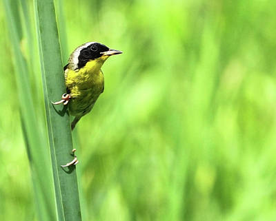 Photograph - Yellow Throat by Art Cole