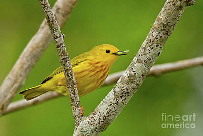 Photograph - Yellow-throat by Butch Lombardi