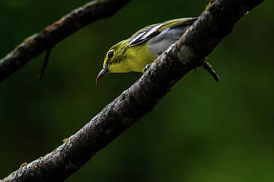 Photograph - Yellow-throated Vireo by Debra Martz