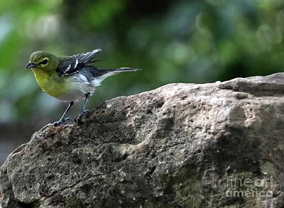 Photograph - Yellow-throated Vireo by Elizabeth Winter