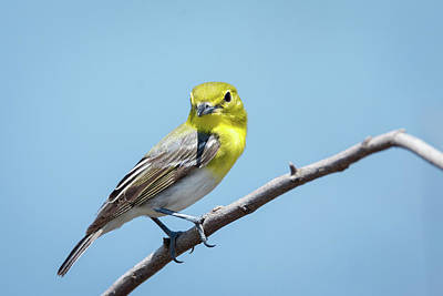 Photograph - Yellow-throated Vireo Strikes A Pose -2 by Debra Martz