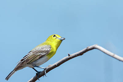 Photograph - Yellow-throated Vireo Strikes A Pose - 3 by Debra Martz
