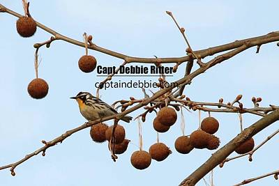 Photograph - Yellow-throated Warbler 0425 by Captain Debbie Ritter