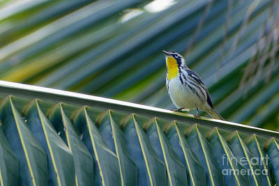Photograph - Yellow-throated Warbler In A Palm Tree by Catherine Sherman