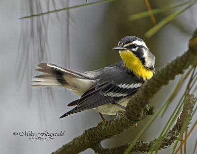 Photograph - Yellow-throated Warbler by Mike Fitzgerald