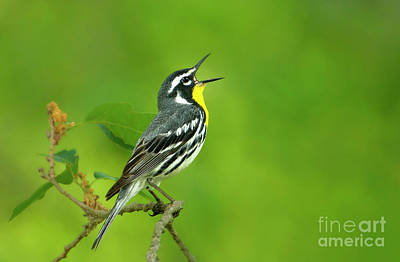 Photograph - Yellow-throated Warbler Setophaga Dominica Albilora Wild Texas by Dave Welling