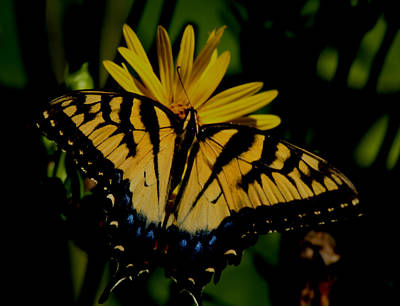 Yellow Tiger Swallowtail Butterflly Art Print by Martin Morehead