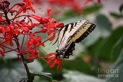 Photograph - Yellow Tiger Swallowtail by Terri Mills