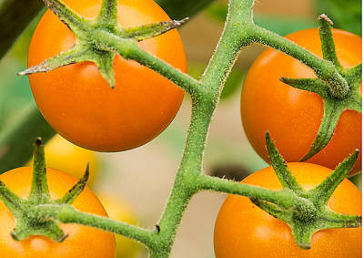 Photograph - Yellow Tomatoes by Paul Miller