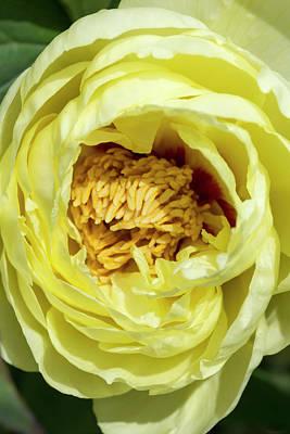 Photograph - Yellow Tree Peony by Dawn Cavalieri