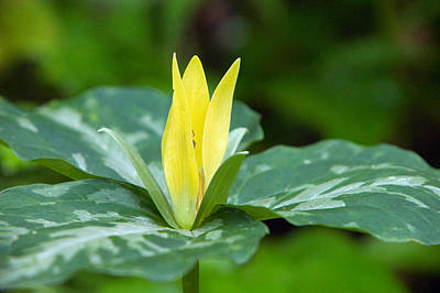 Yellow Trillium Flower Trillium Luteum Art Print by Panoramic Images
