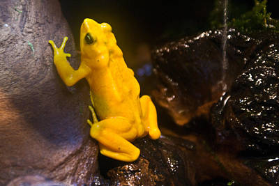 Photograph - Yellow Tropical Frog by Douglas Barnett