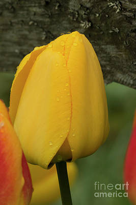 Photograph - Yellow Tulip Alaska by Loriannah Hespe