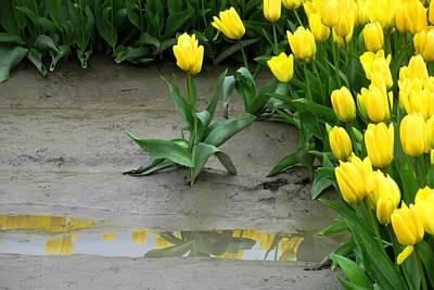 Photograph - Yellow Tulip Alone by Karen Molenaar Terrell