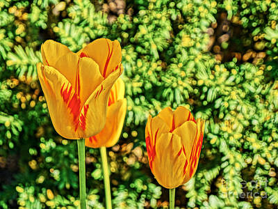 Photograph - Yellow Tulip  by Bob Brents