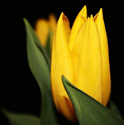 Yellow Tulip Art Print by Cathie Tyler