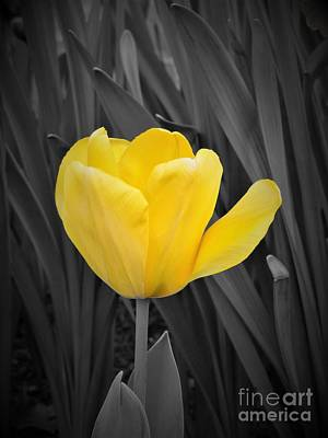 Photograph - Yellow Tulip by Chad and Stacey Hall