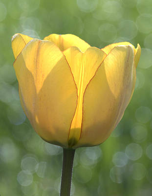 Photograph - Yellow Tulip by David Lester