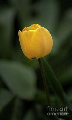 Blossoms Photograph - Yellow Tulip by David Millenheft