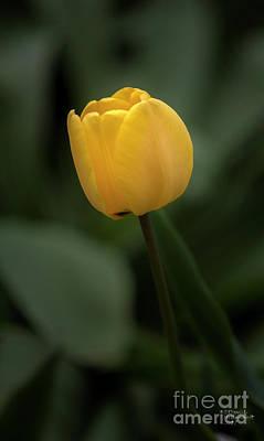 Photograph - Yellow Tulip by David Millenheft