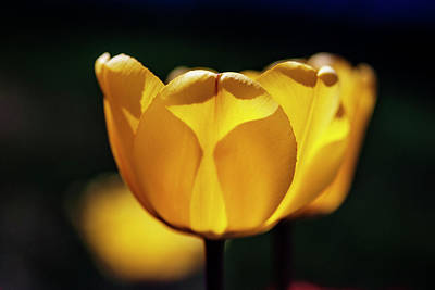 Backlit Tulip Photograph - Yellow Tulip Glow  by Vishwanath Bhat