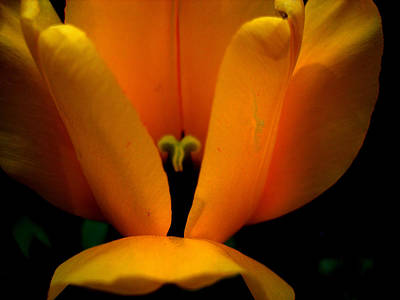 Yellow Tulip Art Print by Martin Morehead