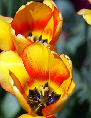 Yellow Tulip Art Print by Marty Koch