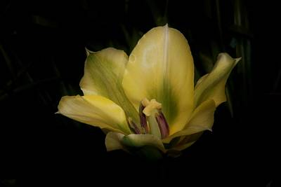 Photograph - Yellow Tulip On A Black Background by Karen Silvestri