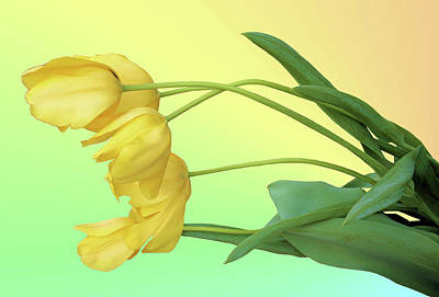 Photograph - Yellow Tulip Pastel by Kristin Elmquist