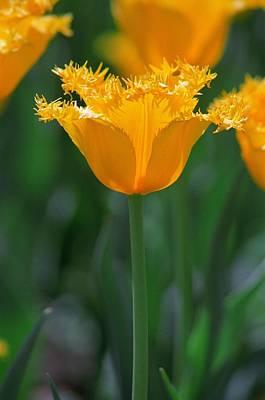 Yellow Tulip Art Print