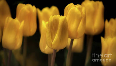 Photograph - Yellow Tulip Row by Jerry Fornarotto
