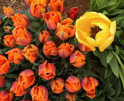 Photograph - Yellow Tulip Supervisor by Jean Noren