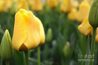 Photograph - Yellow Tulip by Traci Law