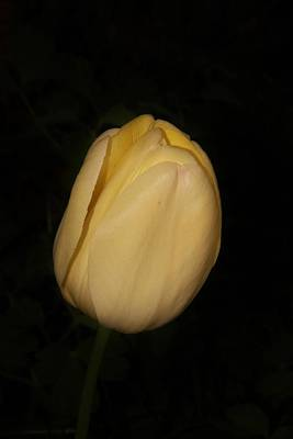 Photograph - Yellow Tulip With Pink Speckles  by Karen Silvestri