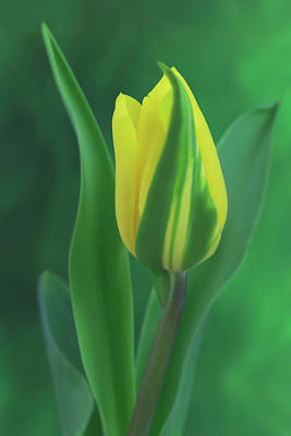 Photograph - Yellow Tulip Wrapped In Green by Kay Kochenderfer