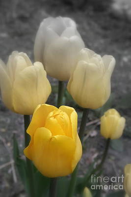 Photograph - Yellow Tulips 2 by Kay Novy