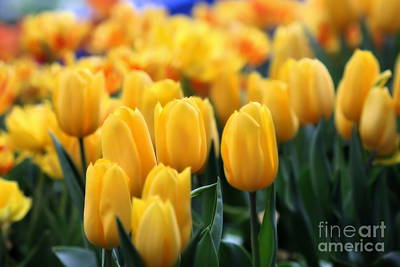 Photograph - Yellow Tulips by Angela Rath