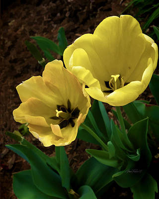 Photograph - Yellow Tulips by Ann Powell