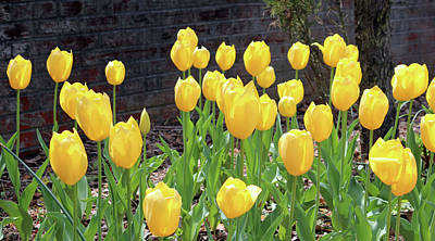 Photograph - Yellow Tulips by Cynthia Guinn