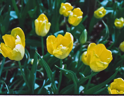 Print featuring the photograph Yellow Tulips--film Image by Matthew Bamberg