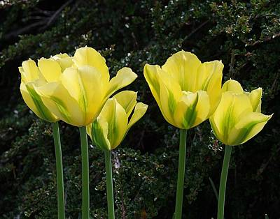 Photograph - Yellow Tulips by George Cousins