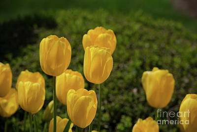 Photograph - Yellow Tulips by Glenn Franco Simmons