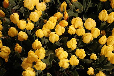 Yellow Tulips Art Print by Jeff Porter